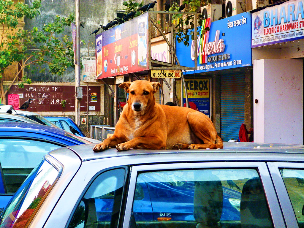 Dog on Car Roof